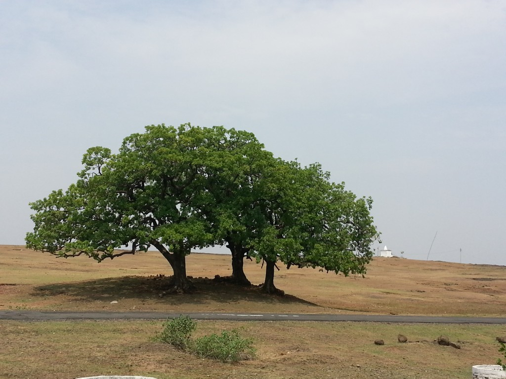 nagpur-khaju-tree
