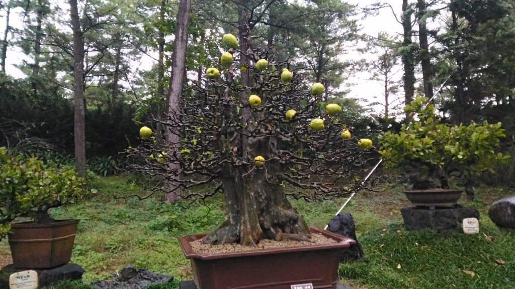 One of hundreds of bonsai